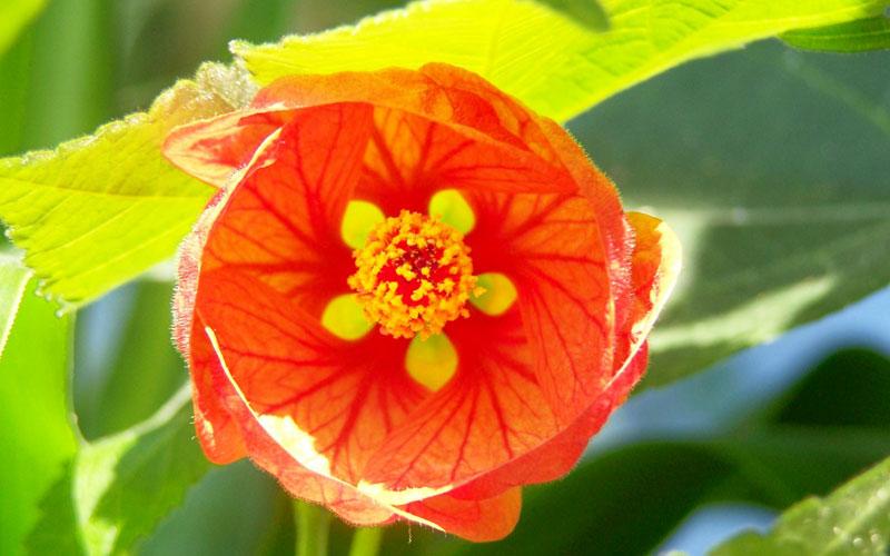 Abutilon Hybridum Variegatum