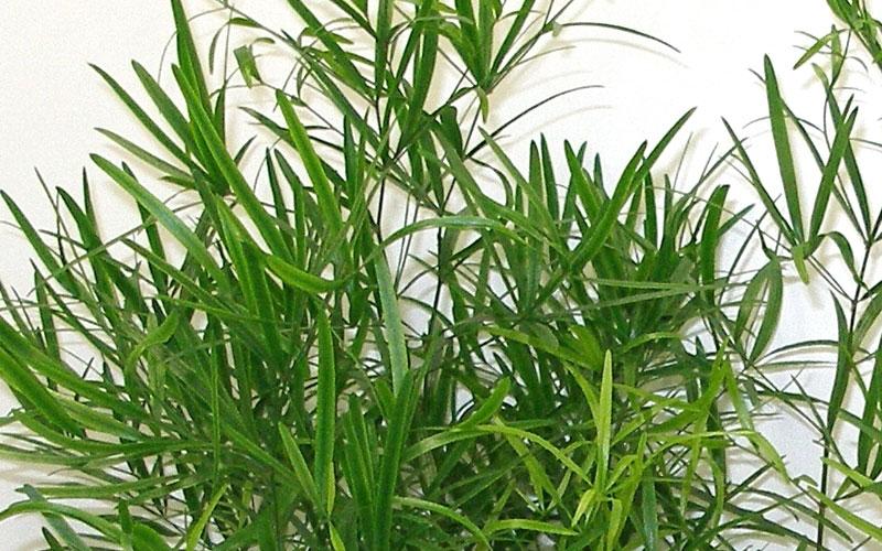 Asparagus Fulcatus