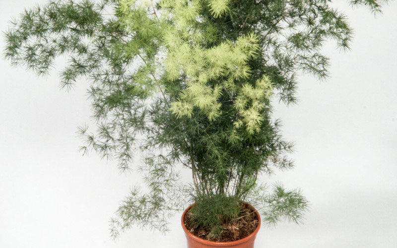 Asparagus Myriocladus