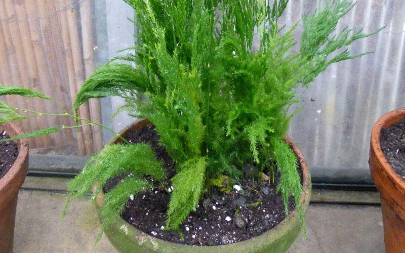 Asparagus Pyrimidalis