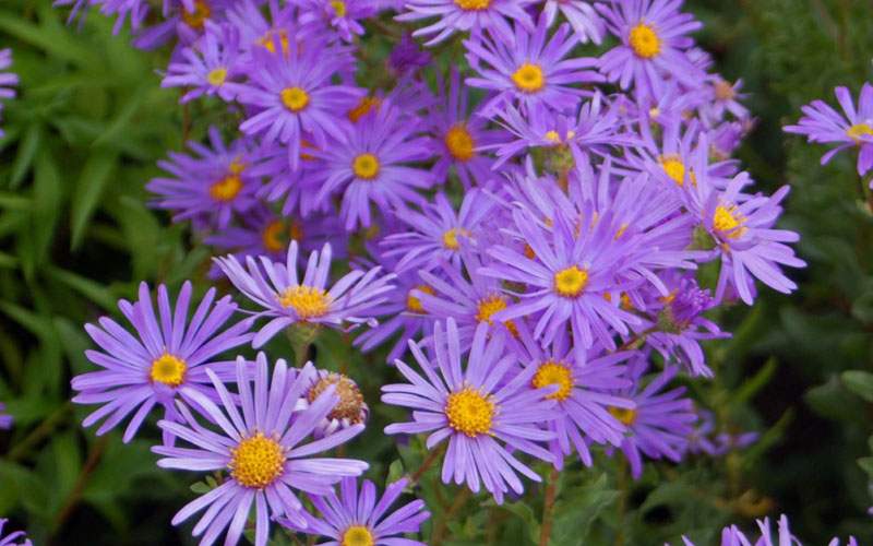 Aster amellus lilac