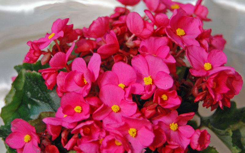 begonia cheimantha
