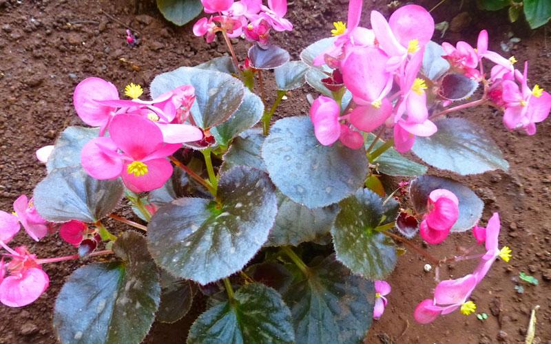 Begonia semperflorens pink pearl