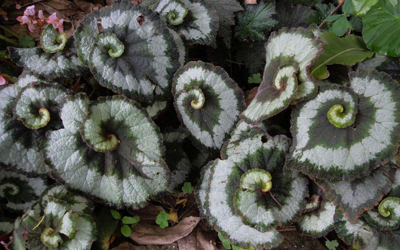 begonia rex green silver