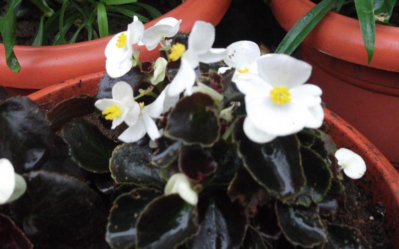 Begonia Semperflorens White comet