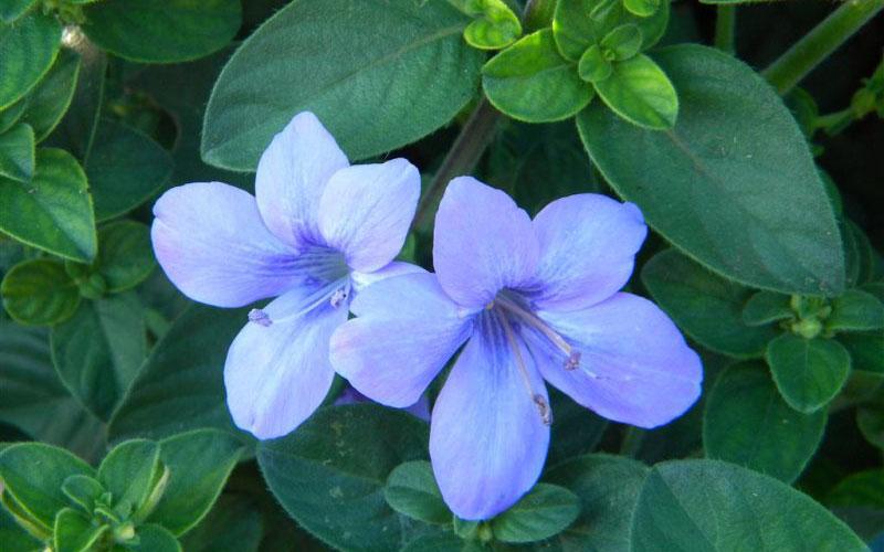 Berleria Perennial