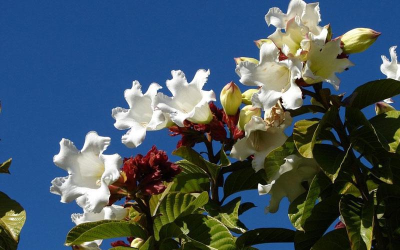 Bumontia Grandiflora