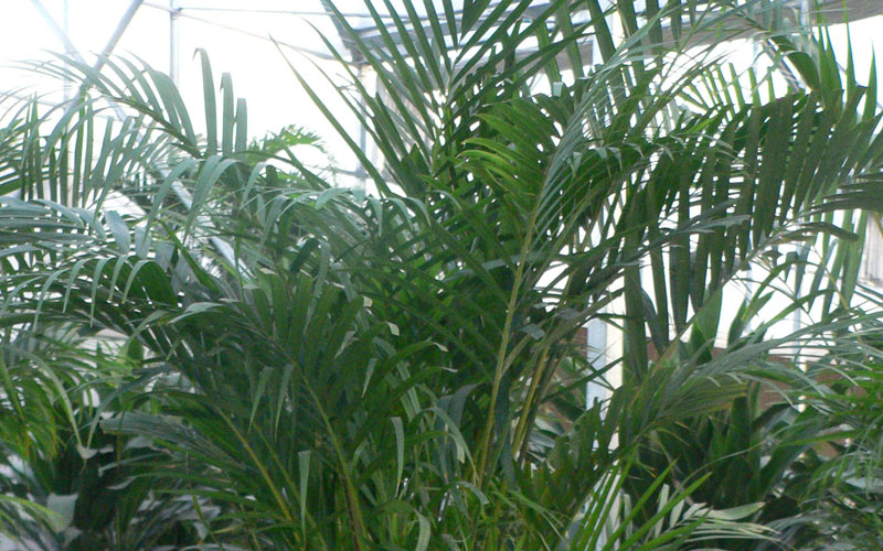 Chrysalidocarpus Lutesens