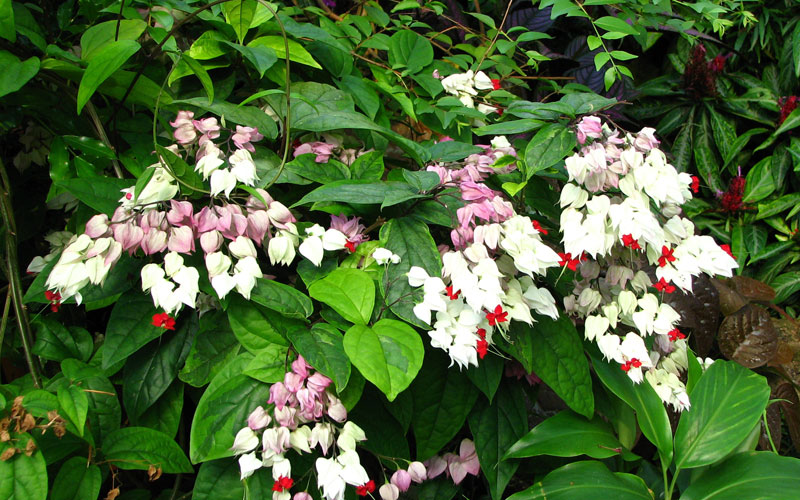 Clerodendrum Thompsonae