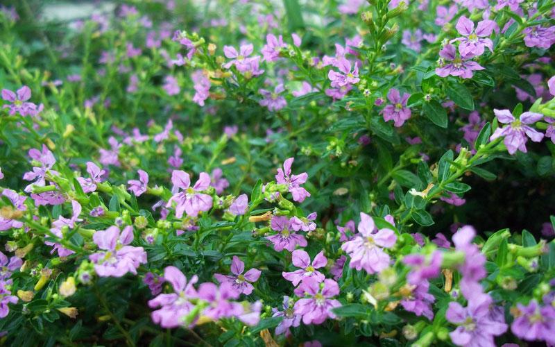 Cuphea Hyssopifolia Purple