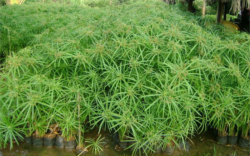 Cyperus Alternifoliust