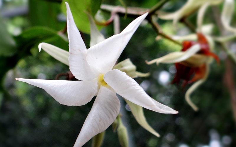 Echites Caryophyllata