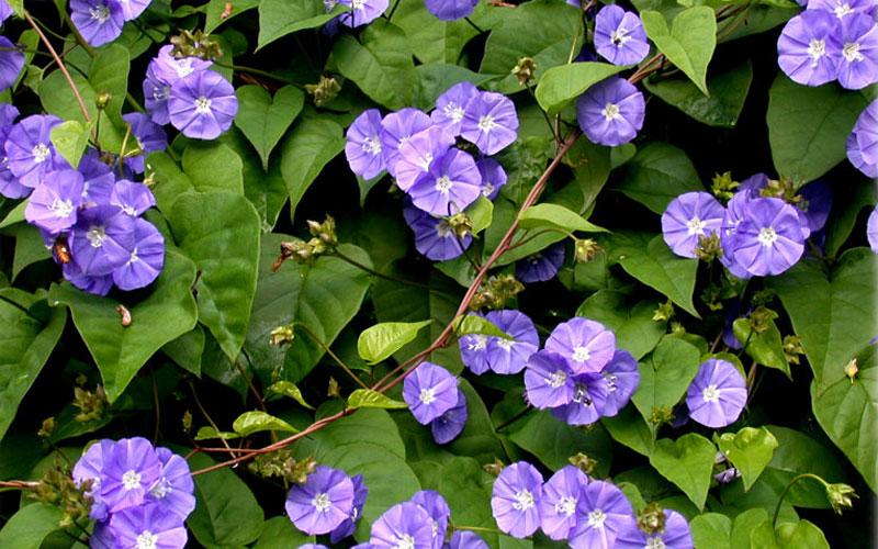 Jacquemontia Violacea