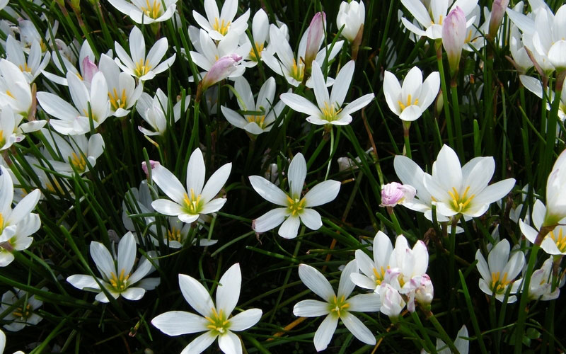 Zephyranthes White