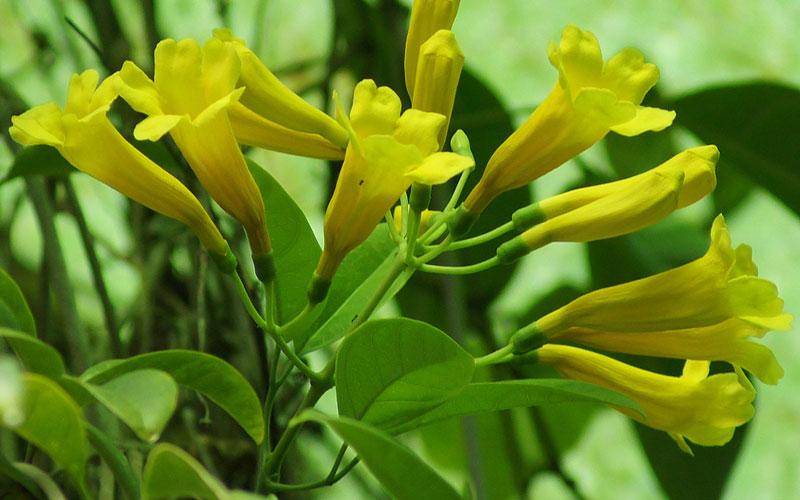 Adenocalymma Comosum