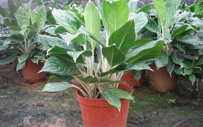 Aglaonema psudobracteatum golden E gr
