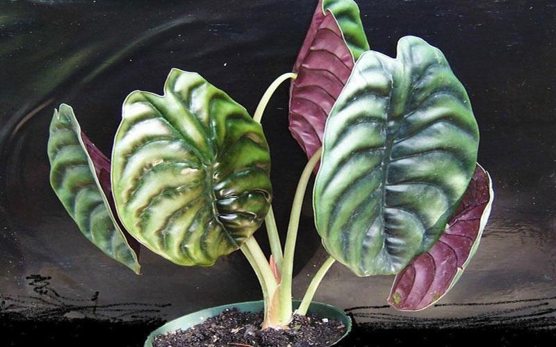 Alocasia Cupera