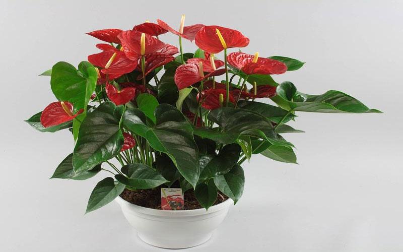 Anthurium Andreanum Hybrids