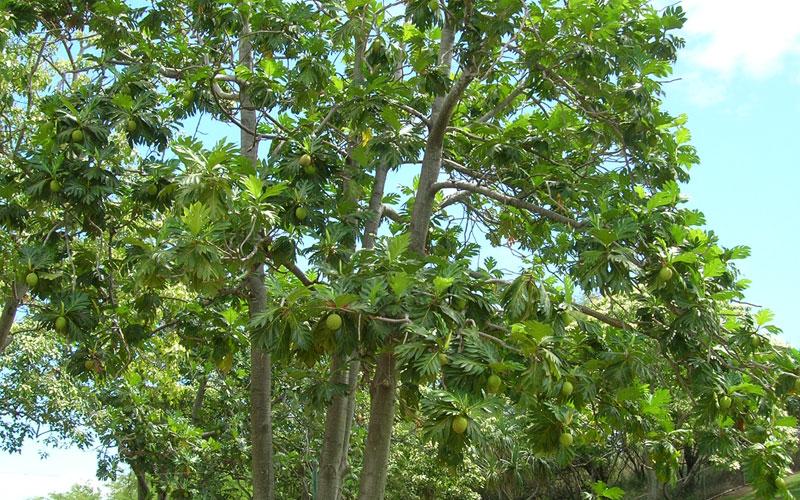 Artocarpus altilils