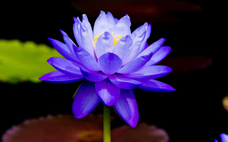 Nymphaea Varieties (Water Lilly) Blue