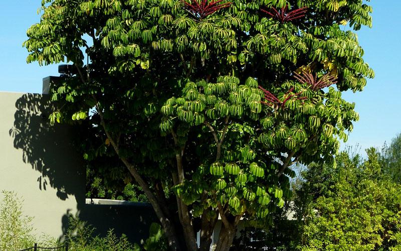 Brassaia actinophylla