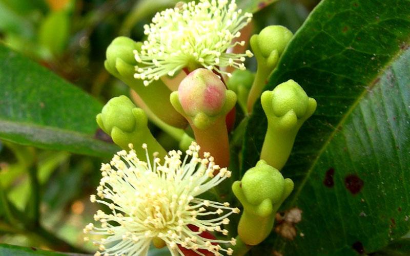 Syzygium Aromaticum (clove)