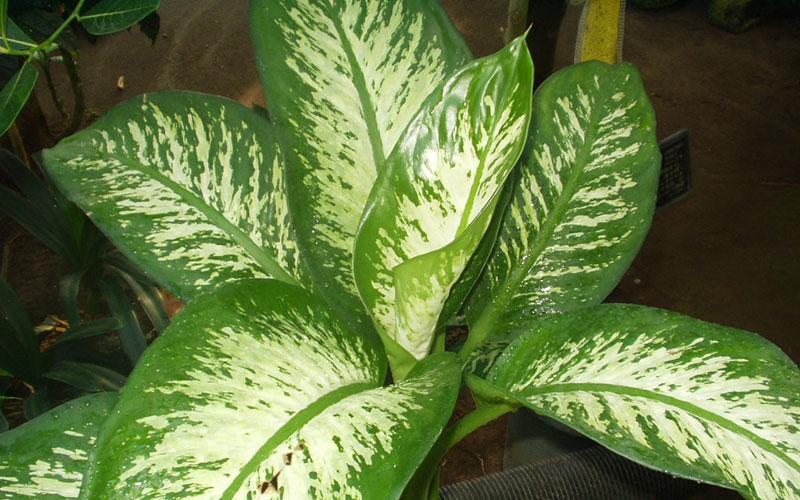 Swamy nursery florist for Planta ornamental venenosa dieffenbachia