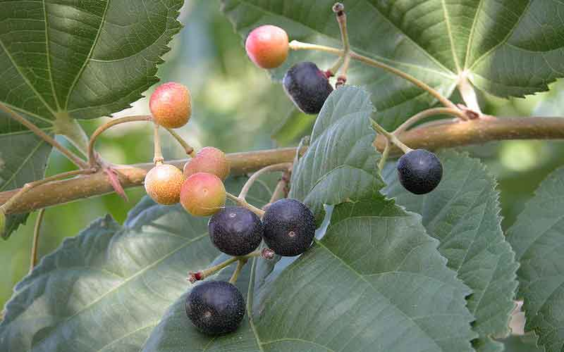 Falsa Fruit