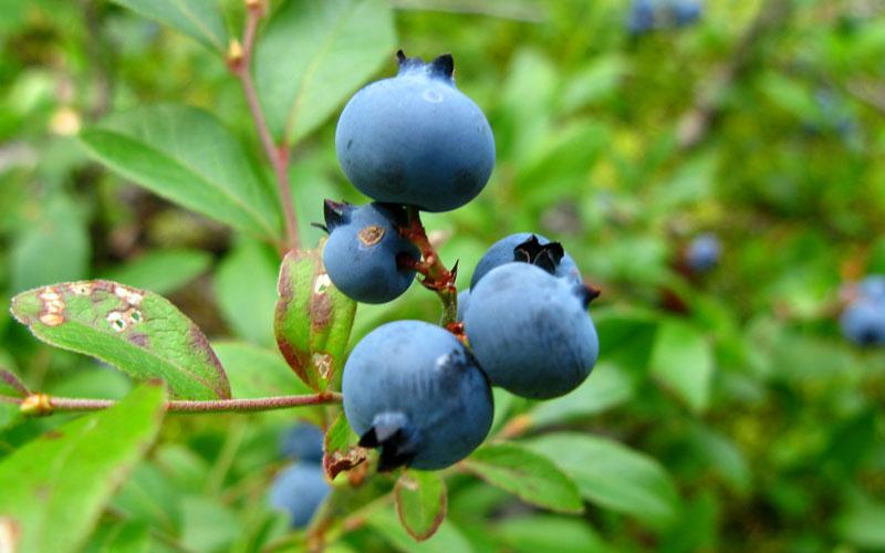 Baraba Fruit