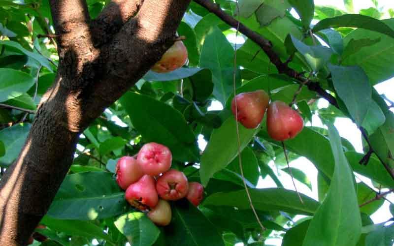 Malayan Apple Red