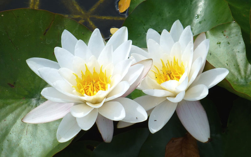 Nymphaea Varieties (Water Lilly) White