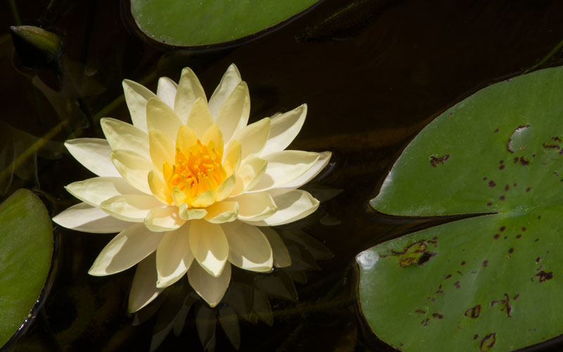 Nymphaea Varieties (Water Lilly) Yellow